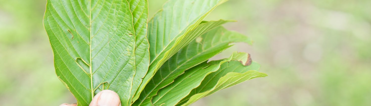 (Preparation & Use / Dosage) Kratom leaves