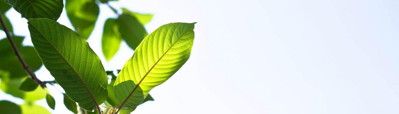 (Flora) Kratom Mytragyna Speciosa
