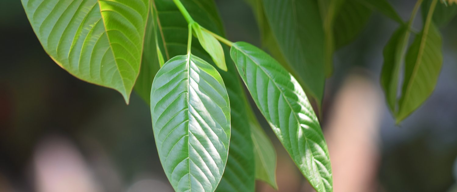 (Flora) Kratom leaves