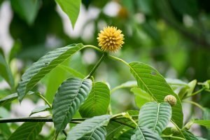 (Flora) Kratom flower and leaves